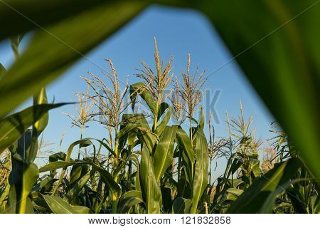 Corn field through the leaves at sunset