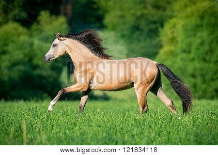 Beautiful buckskin horse running in forest
