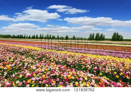 Spring flowering buttercups. Israeli kibbutz close to the border. Magnificent flower carpet of colorful garden buttercups