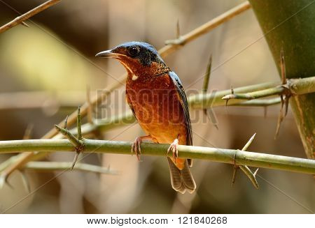 beautiful male white-throated rock-thrush in Thai forest