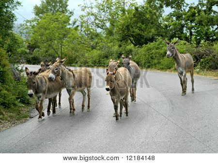 pack of mules on road in montenegro