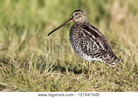 African Snipe In Wetland Looking For Food Green Grass Water