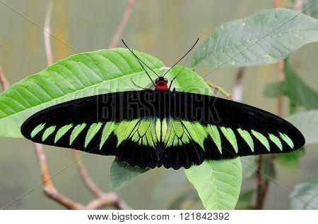 Rajah Brooke's Birdwing butterfly resting on a leaf