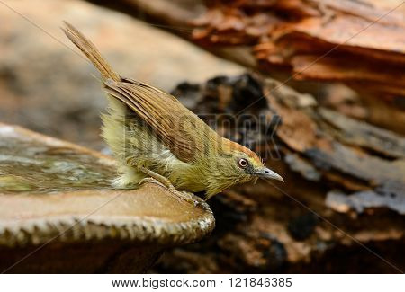 beautiful Pin-Stripeed babbler (Macronus gularis) in forest of Thailand
