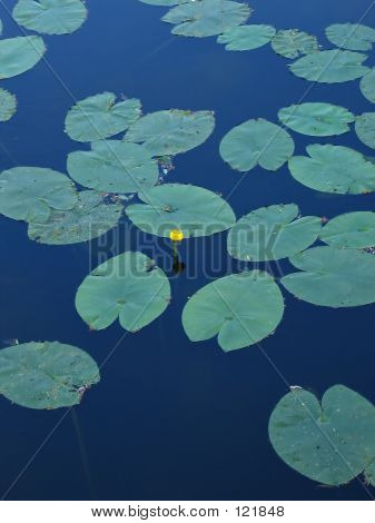 Water-lilies At The Lake