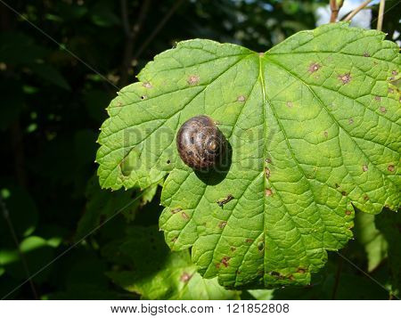 Snail on a leaf of blackcurrant in a sunny day