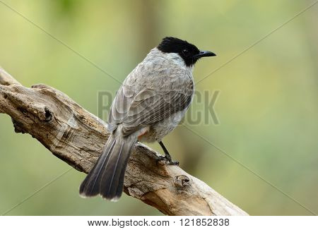 beautiful Sooty-headed Bulbul (Pycnonotus aurigaster) resting in branch