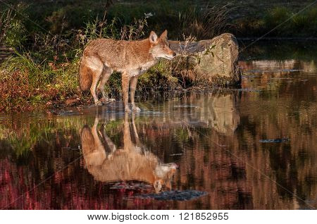 Coyote (canis Latrans) Reflection With Tongue Out