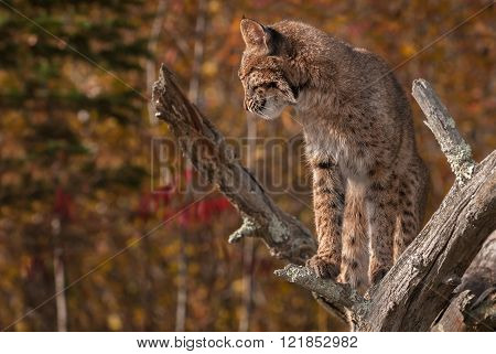 Bobcat (lynx Rufus) Looks Left And Down