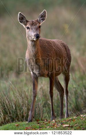 Red Deer Hind (Cervus Elaphus)