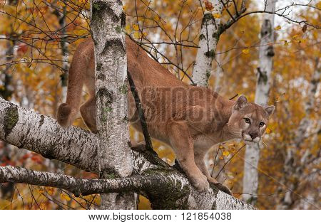 Adult Male Cougar (puma Concolor) Looks Down From Birches