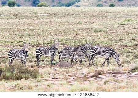 A herd of wet mountain zebras on a gloomy day in the Mountain Zebra National Park near Cradock in South Africa