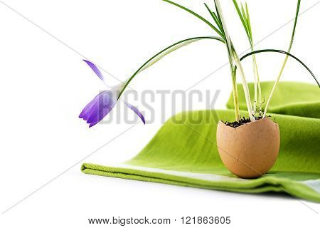 easter decoration idea, blue crocus flower planted in an eggshell on a green napkin, isolated with shadows on white as a corner background with copy space, close up, selected focus, narrow depth of field