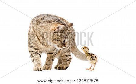 Cat Scottish Straight and quail together isolated on white background