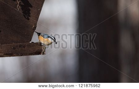 Red Breasted nuthatch (Sitta canadensis) in springtime competing for space and food at a feeder in a woodland area of Northern Ontario.