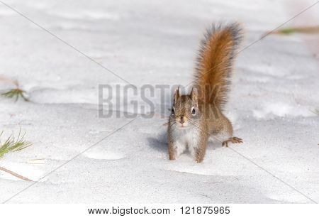 Fiery orange tail, Red squirrel on Springtime corn snow looking for yummy num nums to eat in corn snow of Northern Ontario woodland.