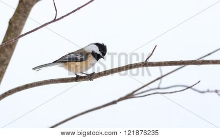 Springtime comes, Black cap chickadee, Poecile atricapillus, on a branch on a very early, grey spring day in early March.  Happy that the day is mild and anticipating the arrival of spring.