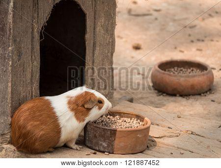 Cute guinea pig feeding in the zoo.