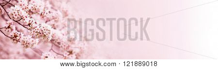 Spring Cherry blossoms in full bloom. Made in horizontal long dimension, for easy use in title bars.