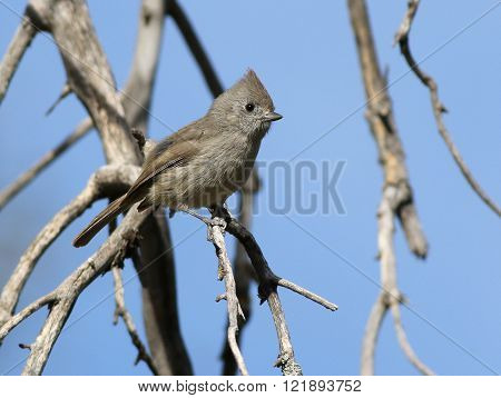 An Oak Titmouse (Baeolophus inornatus) perched on a branch