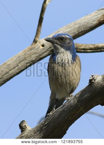 A Western Scrub Jay (Aphelocoma californica) perched on a branch