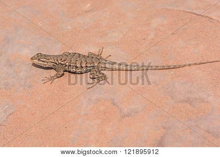 Desert Spiny Lizard in the wilderness of Canyonlands National Park in Utah