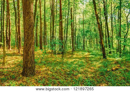 Spring Green Deciduous Forest Woods. Spring Nature