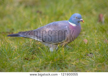 Common Wood Pigeon On A Lawn