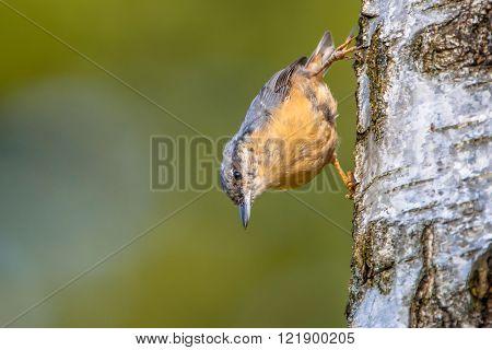 Eurasian Nuthatch On A Tree