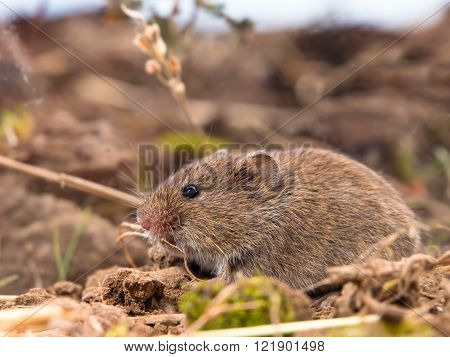 Common Vole (microtus Arvalis) In A Field