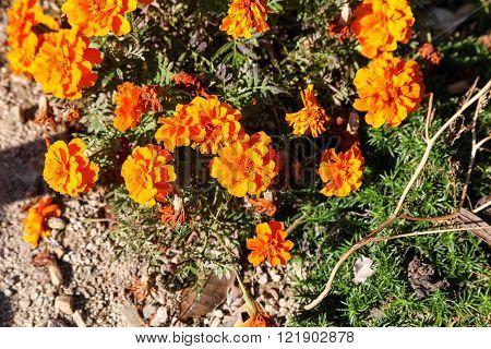 Yellow marigold flower in the garden.Yellow Marigold flower ** Note: Soft Focus, best at smaller sizes