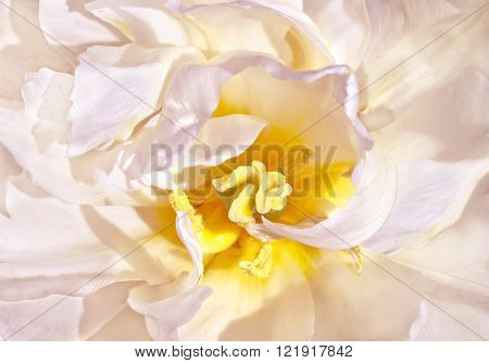large yellowish white tulip close-up background wallpaper