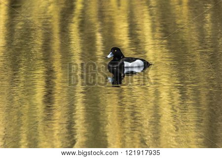 A tufted duck is swimming on a pond  ** Note: Soft Focus at 100%, best at smaller sizes