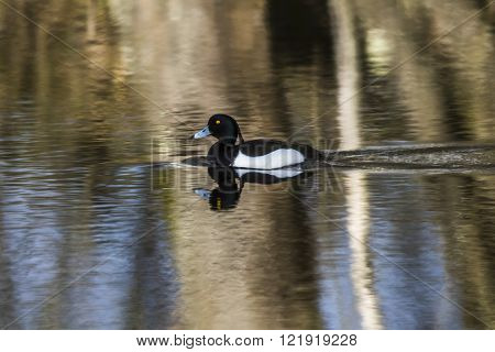 A tufted duck swims on the water
