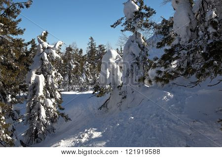 NIZHNY TAGIL, RUSSIA - MARCH 10, 2016: Trees standing in the snow. The sun illuminates the trees and snow. Snowy forest on the summit of Mount White.