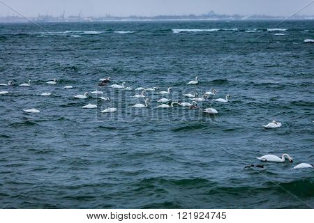 White swans swiming in stormy  Baltic sea