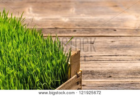 Sprouts of green wheat grass with space for text