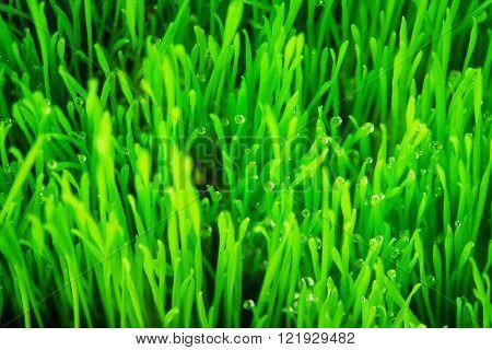 Soft  green grass