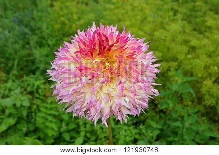 Beautiful Dahlia Flower In Garden