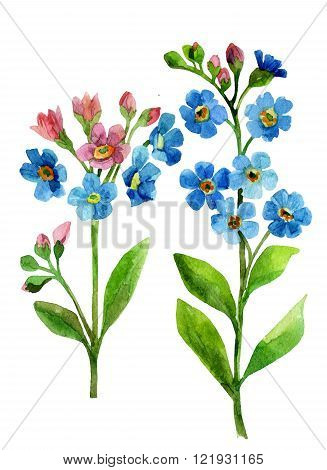 Watercolor blue flower. Forget-me-not Flowers. Forget me not hand painted illustration