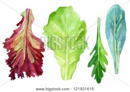 Watercolor fresh greens set - lettuce arugula and italian kale isolated on white background. Hand painted illustration