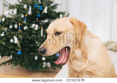 Labrador retriever dog yawning