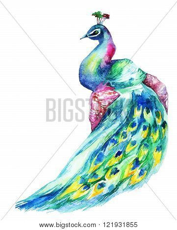 Watercolor hand painted peacock isolated on white background