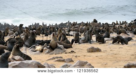 Cape Fur Seals, Namibia