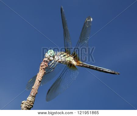Dragonfly with a green body and large blue eyes on a tree branch