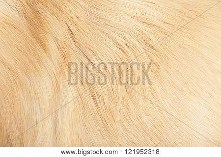 Fur of golden retriever, background