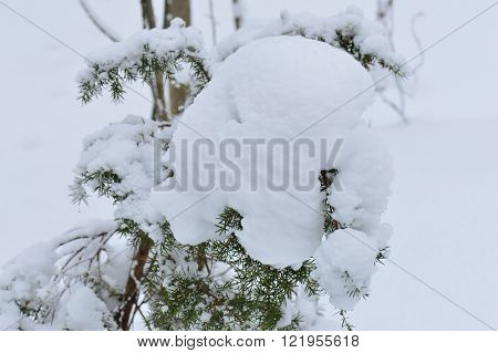 Juniper in the forest covered with fresh snow in the winter