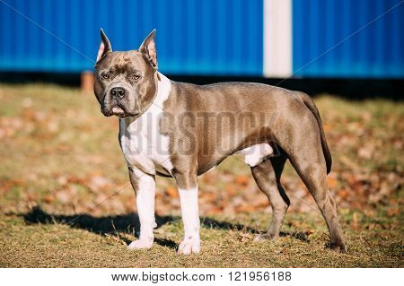 Beautiful Dog American Staffordshire Terrier Outdoor