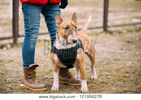 Bull terrier Dog Portrait At Green Grass. Other names - Bully, T