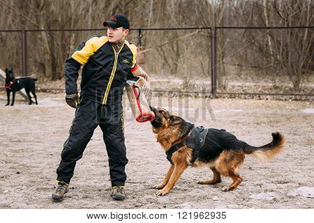 German shepherd dog training. Biting dog. Alsatian Wolf Dog. Deu